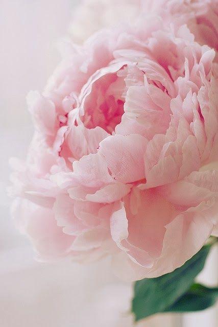 peonía rosa dia internacional cancer mama